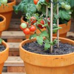 Tips For Growing Cherry Tomatoes In Pots