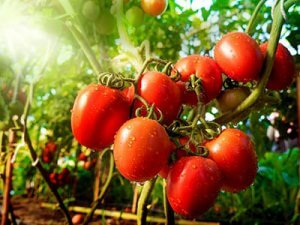 cherry-tomato-in-sunlight
