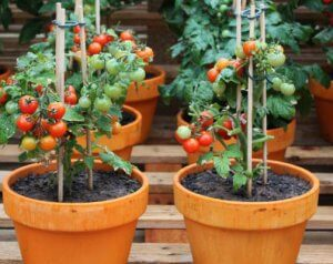 green and ripe cherry tomatoes grown in clay pots with stakes. Two 1.5 ft tall plants with green leaves.