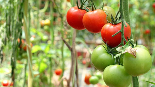 Tips To Growing Tomatoes From Seeds At Home