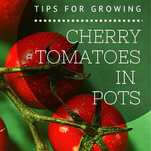 Tips For Growing Cherry Tomatoes In Pots (Effective)