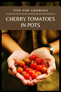 tips-for-cherry-tomatoes-in-pots-minipin-image