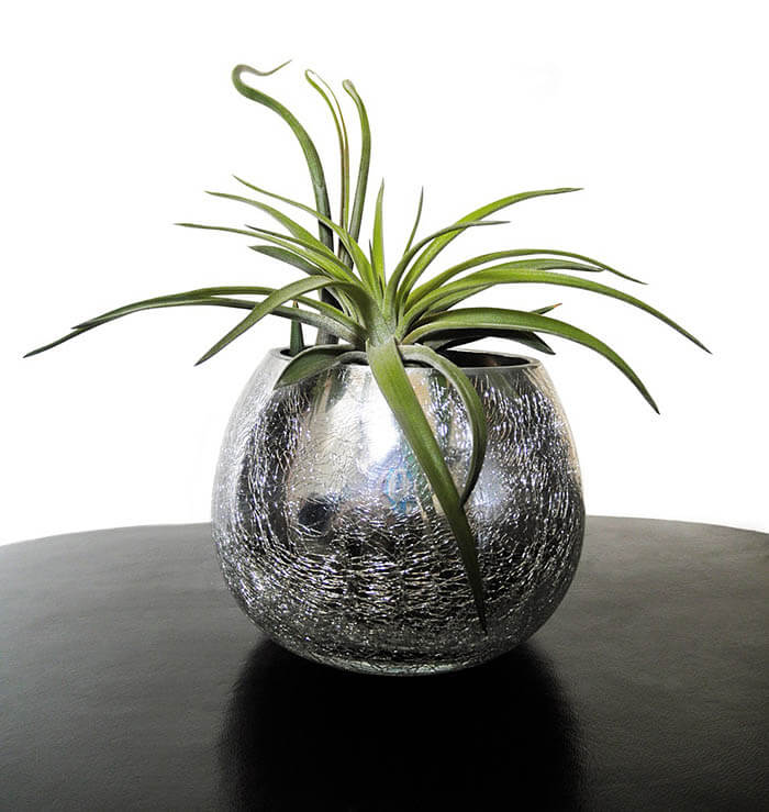 air plant in glass vessel with wide an opening