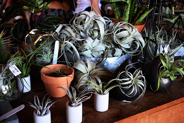 bunch of air plants