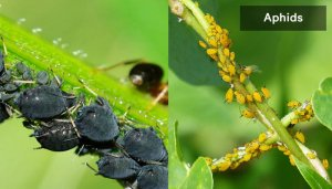 how-to-get-rid-of-aphids-from-houseplants-and-soil
