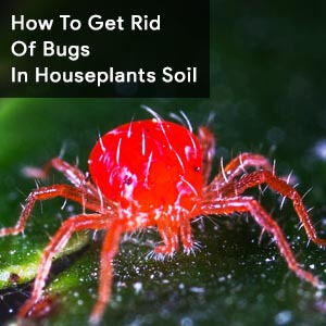 How To Get Rid Of Bugs In Houseplants Soil
