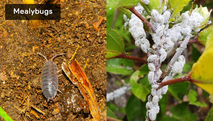 how-to-get-rid-of-mealybugs-from-houseplants-soil