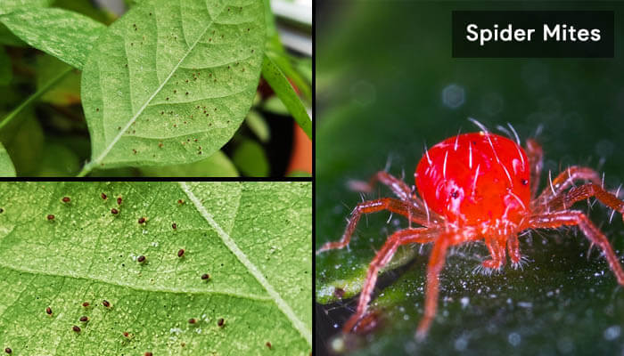 how-to-get-rid-of-spider-mites-from-houseplants-soil