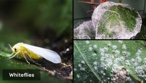 how-to-get-rid-of-whiteflies-from-houseplants-and-soil