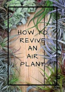 how-to-revive-an-air-plant