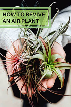 how-to-revive-an-air-plant-article-image