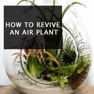 How to Revive An Air Plant