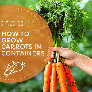 A Beginner's Guide on Growing Carrots in Containers