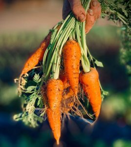 growing-carrots-in-containers-carrots-pulled-out-of-soil