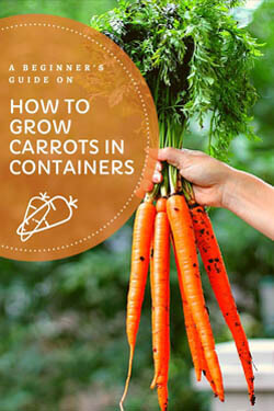 growing-carrots-in-containers-minipin-image