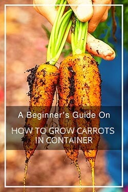 growing-carrots-in-containers-pin-image4-small