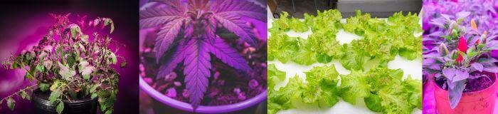 growing-vegetables-with-led-grow-lights-tomatoes-cannabis-lettuce-peppers