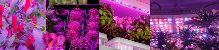 peppers-succulents-basil-cannabis-growing-in-led-grow-lights