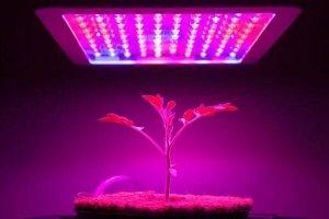 tomato-seedling-under-led-grow-light