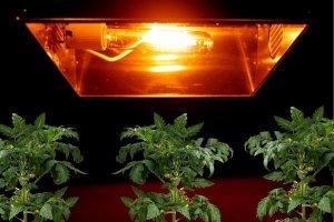 tomatoe-plants-under-hps-grow-light