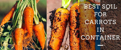 best-soil-for-carrots-in-container-featured-image