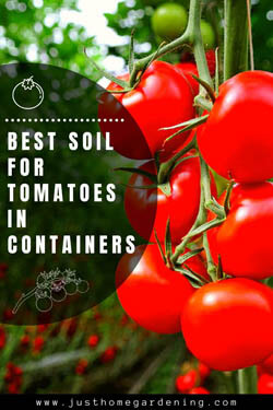 best-soil-for-tomatoes-in-container-minipin-image