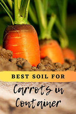 carrots-crowns-out-of-soil-ready-to-harvest-pin-image2